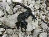 Alpine Salamander (Salamandra atra)