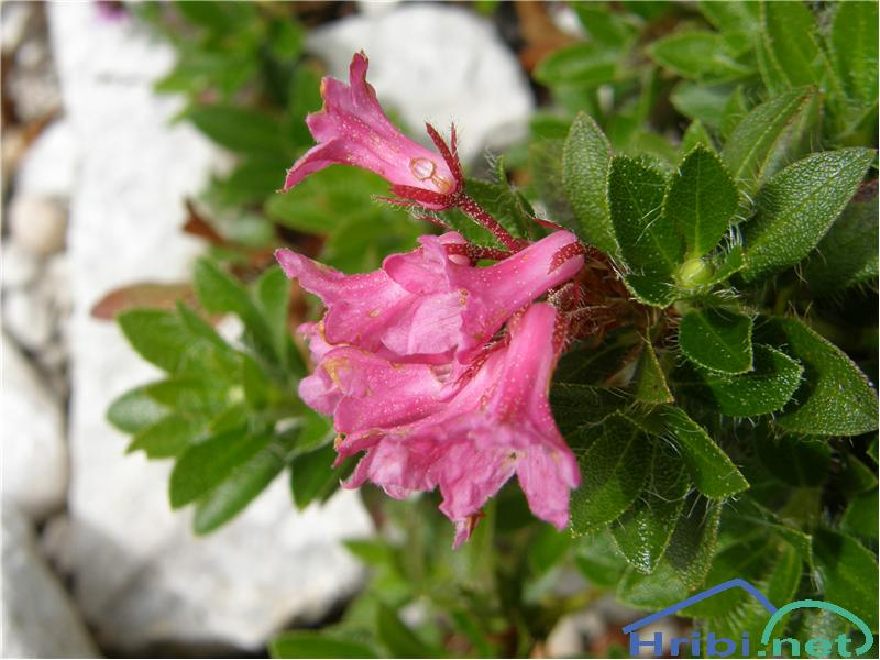 Dlakavi sleč (Rhododendron hirsutum) - SlikaDlakavi sleč, slikan konec junija na Okrešlju.