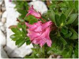 Rhododendron hirsutum