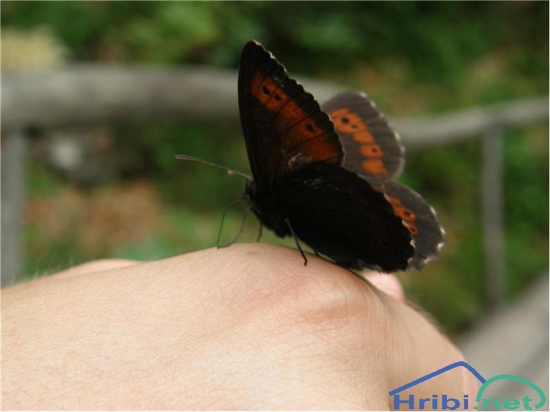 Metulji (Lepidoptera) - Slika