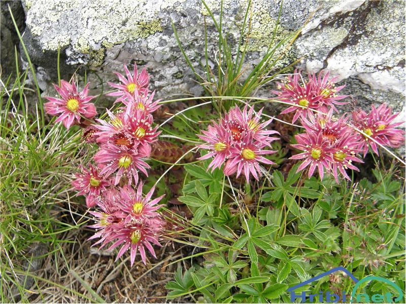 Navadni netresk (Sempervivum tectorum) - SlikaNavadni netresk, slikan začetek julija na pobočjih Ameringkogla, Avstrija.