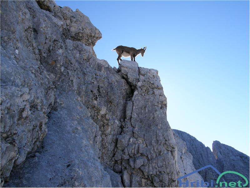 Kozorog (Capra ibex) - Picture