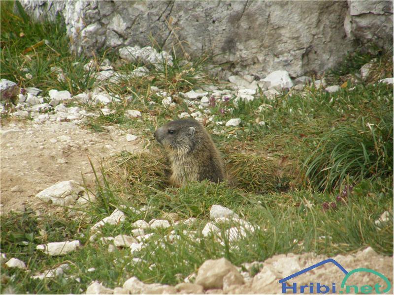 Alpski svizec (Marmota marmota) - PictureSvizec ob poti na Debeli vrh.