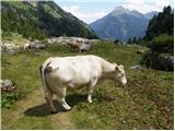 Domače govedo (Bos taurus)