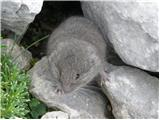 Snežna voluharica (Microtus nivalis)