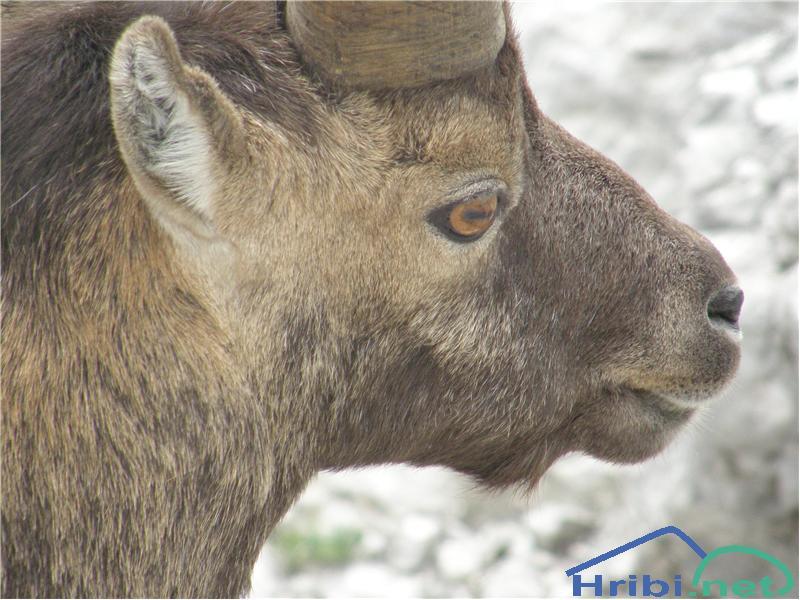 Kozorog (Capra ibex) - PictureKozorog pri Rjavem jezeru.