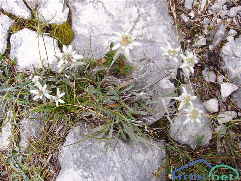 Planika ali očnica (Leontopodium alpinum) - SlikaPlanika, slikana konec avgusta na poti od planine Lopučnice proti Velikim vratom.