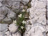Planika ali očnica (Leontopodium alpinum)