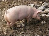 Pig (Sus scrofa domestica)