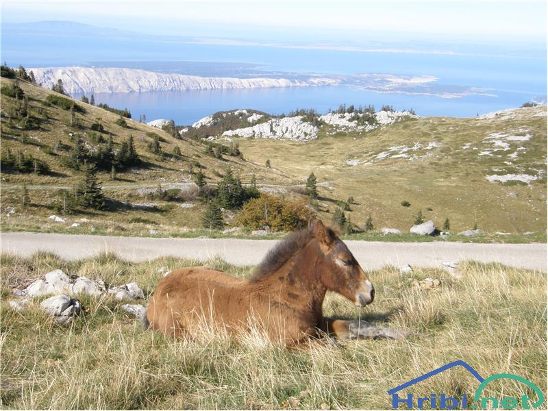 Konj (Equus caballus) - Picture