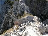 Sele-Zvrhnji Kot (Male) / Zell-Oberwinkel (Male) - kosutica