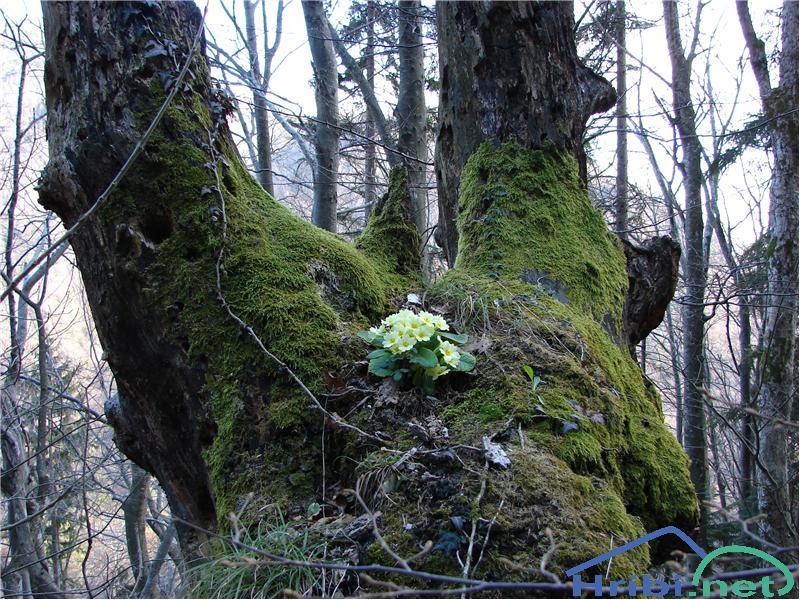 Navadni jeglič ali trobentica (Primula vulgaris) - SlikaTrobentice.