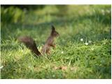 Vjeverica (Sciurus vulgaris)