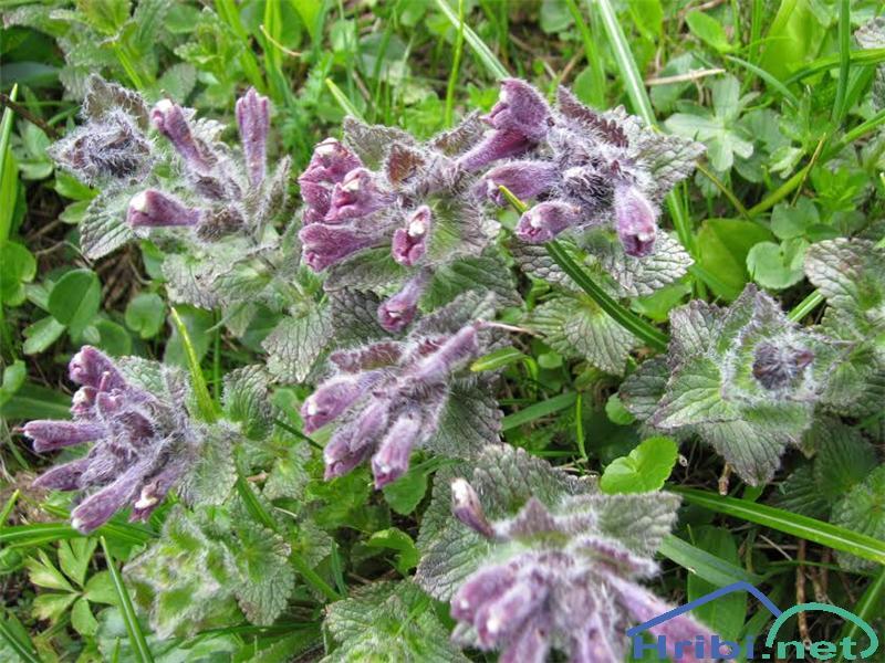Alpska barčija ali alpska žalujka (Bartsia alpina) - SlikaAlpska barčija (Bartsia alpina)