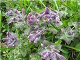 Alpska barčija ali alpska žalujka (Bartsia alpina)