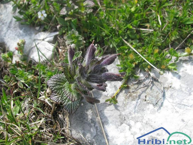 Alpska barčija ali alpska žalujka (Bartsia alpina) - PictureAlpska barčija (Bartsia alpina)