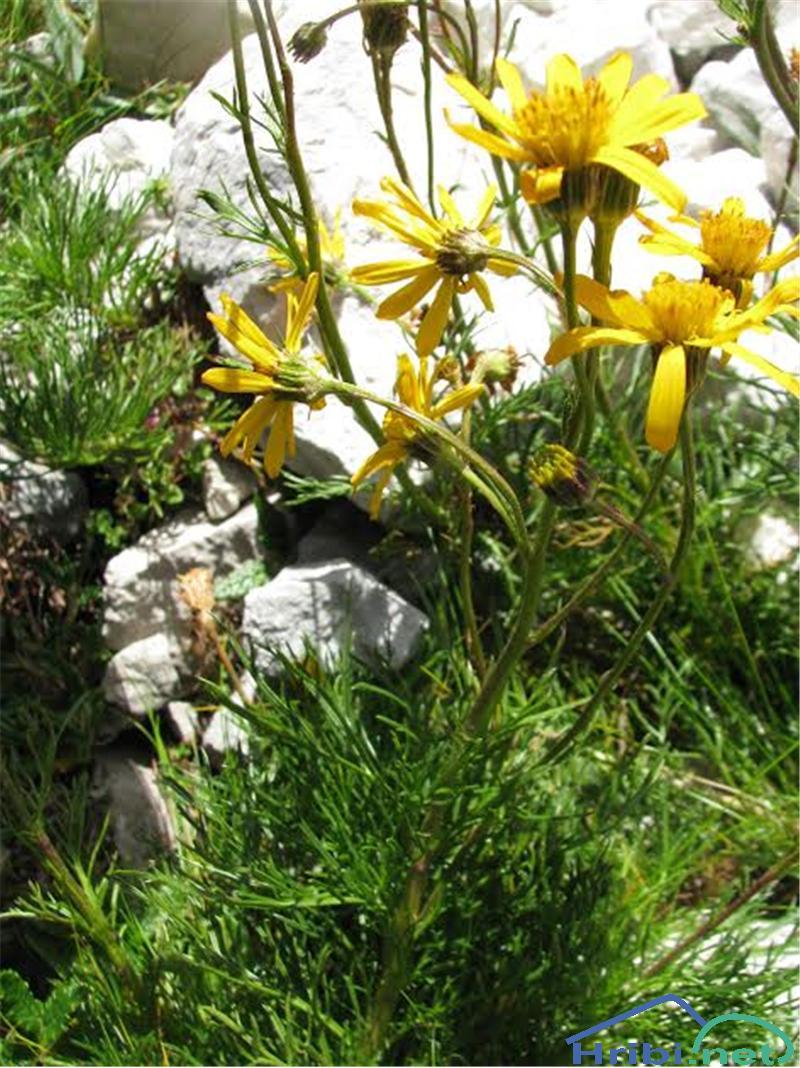 Abraščevolistni ali ozkorogljati grint (Senecio abrotanifolius) - SlikaAbraščevolistni grint (Senecio abrotanifolius)