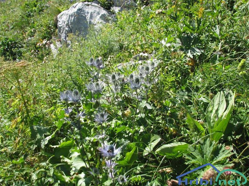 Alpska možina (Eryngium alpinum) - PictureAlpska možina (Eryngium alpinum)