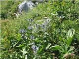 Alpska možina (Eryngium alpinum)