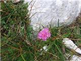 Alpski pečnik (Armeria alpina)
