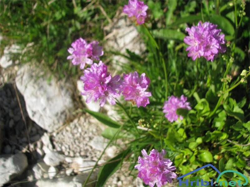 Alpski pečnik (Armeria alpina) - SlikaAlpski pečnik (Armeria alpina )