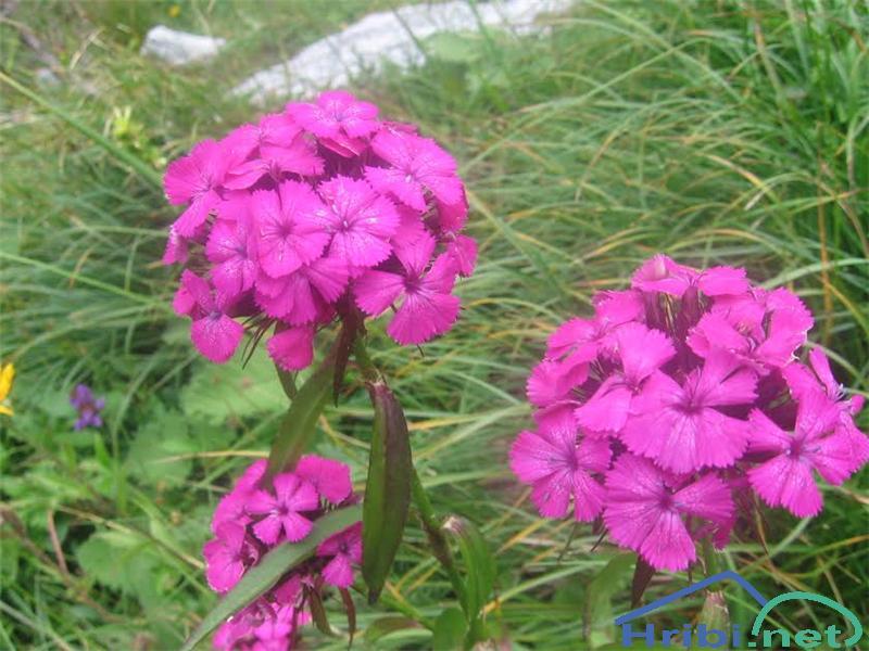 Brkati klinček (Dianthus barbatus) - PictureBrkati klinček (Dianthus barbatus)