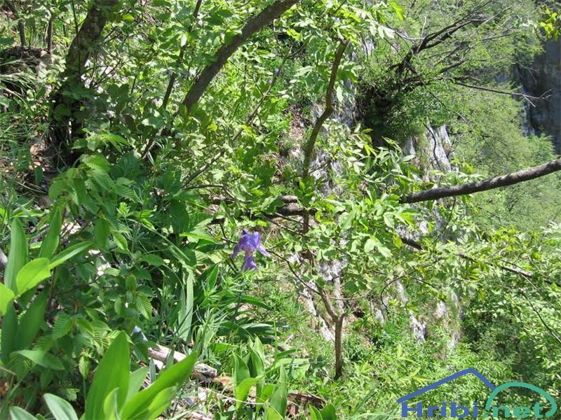 Bohinjska perunika (Iris cengialti f. vochinensis) - PictureBohinjska perunika (Iris cengialti f. vochinensis)