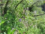 Bohinjska perunika (Iris cengialti f. vochinensis)