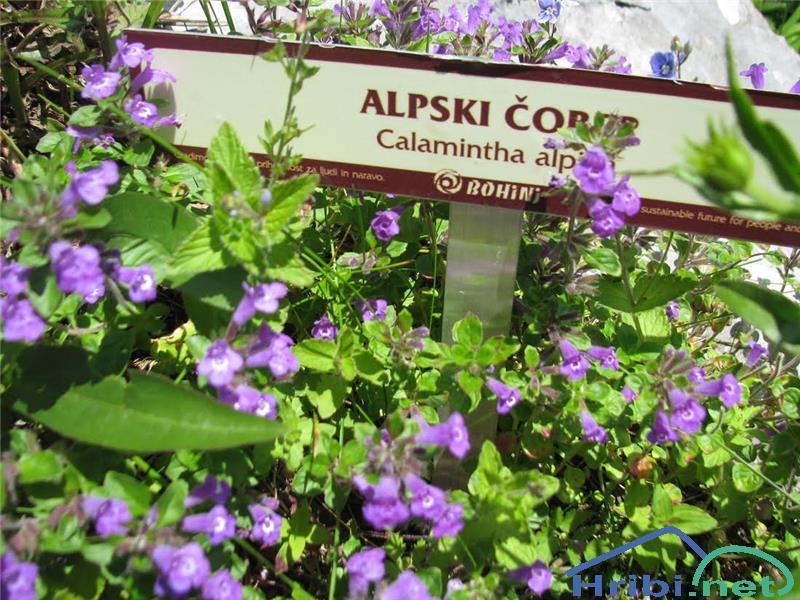 Alpski šetrajnik ali alpski čober (Calamantha alpina) - PictureAlpski šetrajnik ali alpski čober (Calamantha alpina).