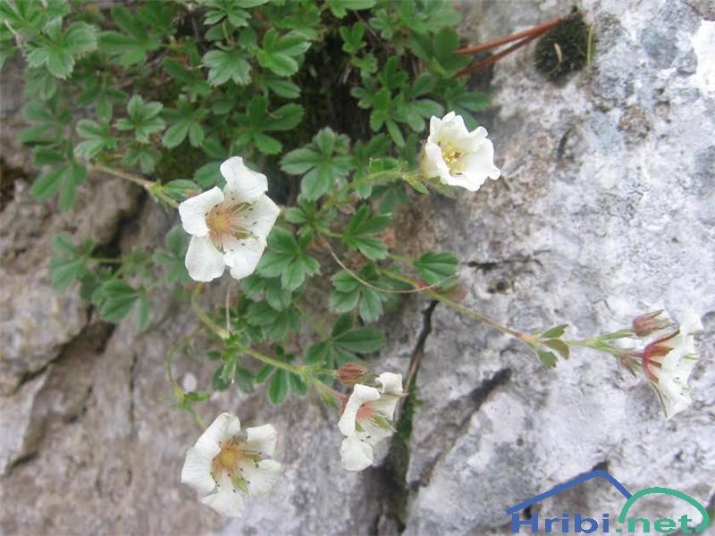 Clusijev petoprstnik (Potentilla clusiana) - PictureClusijev petoprstnik (Potentilla clusiana)