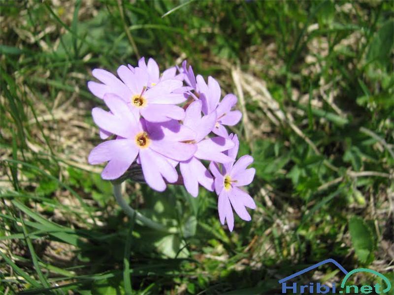 Dolgocvetni jeglič (Primula halleri) - PictureDolgocvetni jeglič (Primula halleri)