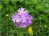 Dolgocvetni jeglič (Primula halleri)
