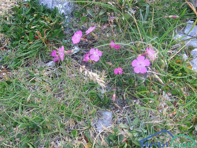 Divji klinček (Dianthus sylvestris) - PictureDivji klinček (Dianthus sylvestris)