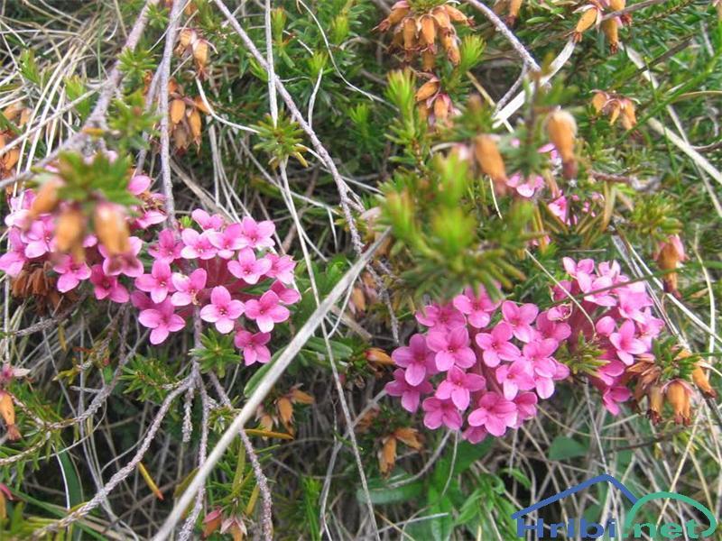 Dišeči volčin (Daphne cneorum) - PictureDišeči volčin (Daphne cneorum)