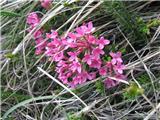 Dišeči volčin (Daphne cneorum)