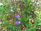 Gozdna krvomočnica (Geranium sylvaticum)