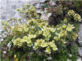 Grozdasti kamnokreč (Saxifraga paniculata)
