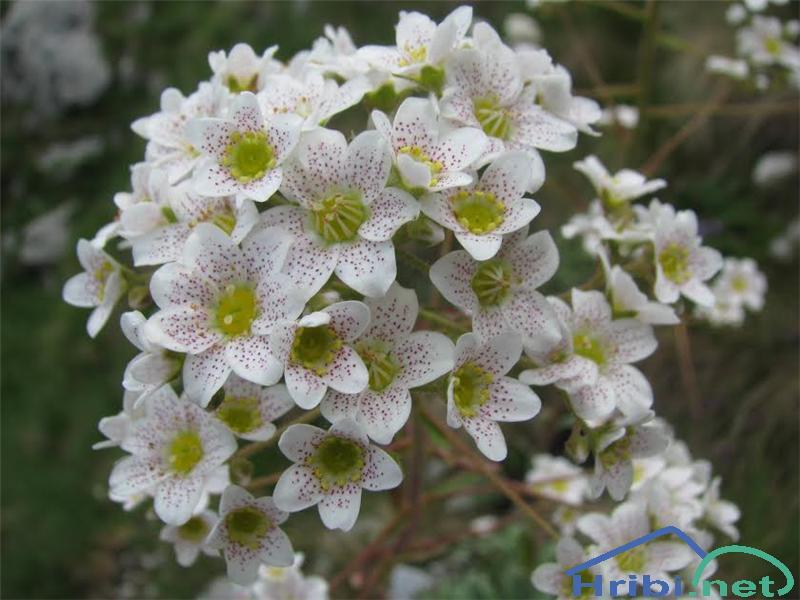 Hostov kamnokreč (Saxifraga hostii) - PictureHostov kamnokreč (Saxifraga hostii)