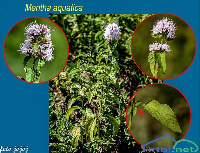 Vodna meta (Mentha aquatica) - SlikaVodna meta (Mentha aquatica), foto Jojo.