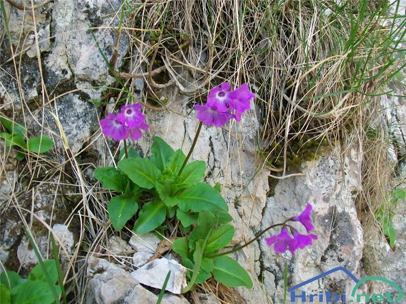 Kranjski jeglič (Primula carniolica) - PictureKranjski jeglič (Primula carniolica), foto Miri.