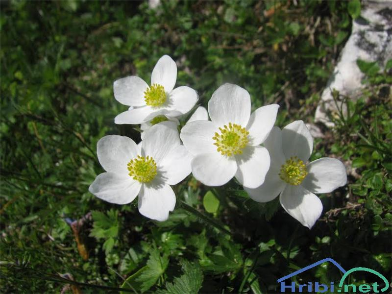 Kobulasta vetrnica (Anemone narcissiflora) - SlikaKobulasta vetrnica (Anemone narcissiflora)