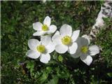 Kobulasta vetrnica (Anemone narcissiflora)