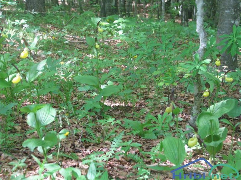 Lepi čeveljc (Cypripedium calceolus) - PictureLepi čeveljc (Cypripedium calceolus)