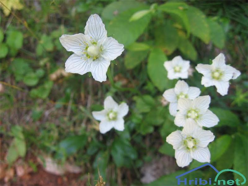 Močvirska samoperka (Parnassia palustris) - SlikaMočvirska samoperka (Parnassia palustris)