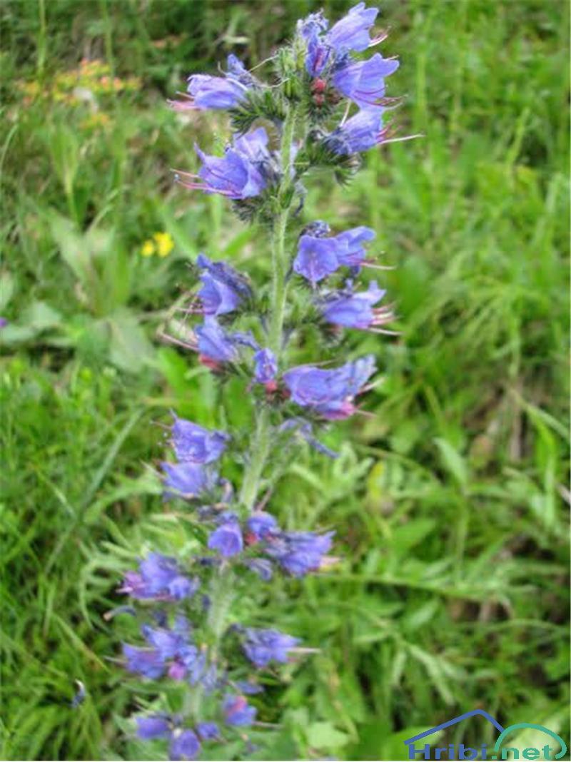 Navadni gadovec (Echium vulgare) - PictureNavadni gadovec (Echium vulgare)