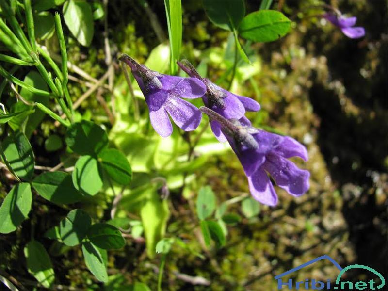 Navadna mastnica (Pinguicula vulgaris) - PictureNavadna mastnica (Pinguicula vulgaris)