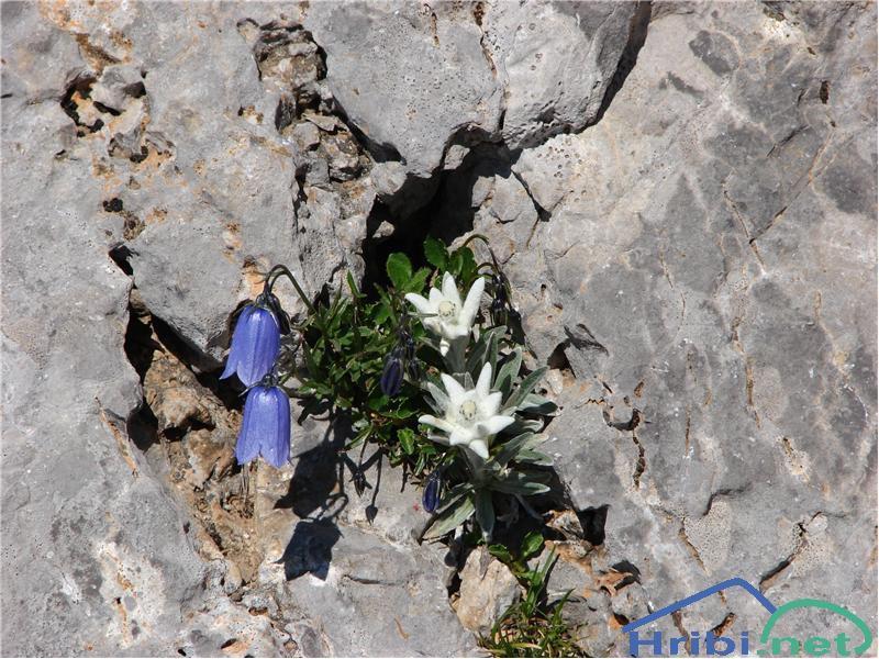Planika ali očnica (Leontopodium alpinum) - SlikaPlanika.
