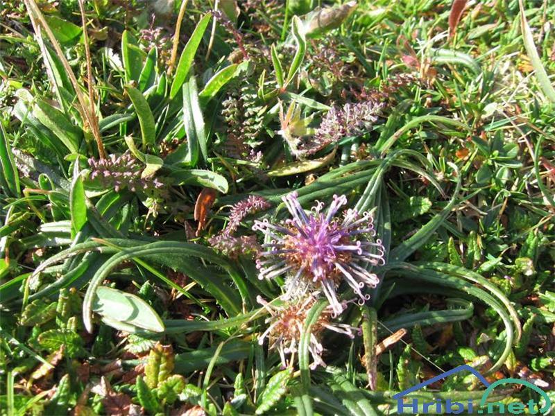 Pritlikava kosmatulja (Saussure pygmaea) - PicturePritlikava kosmatulja (Saussure pygmaea)