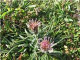 Pritlikava kosmatulja (Saussure pygmaea)