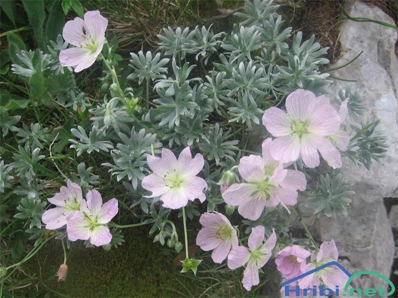 Srebrna krvomočnica (Geranium argenteum) - PictureSrebrna krvomočnica (Geranium argenteum)